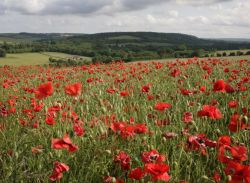 Poppies in the Darent Valley