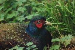 barnsley pheasant