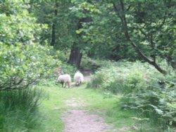 Beck Hole - Sheep on Path to Thomason Foss