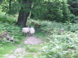 Beck Hole - Sheep on Path to Thomason Foss (2)