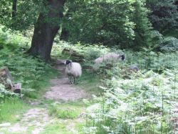 Beck Hole - Sheep on Path to Thomason Foss (3)