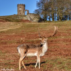 Fallow stag at Bradgate Park, Leicester