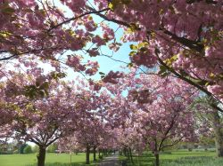 Cherry Blossoms in Greenwich Park