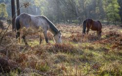Early Morning in the New Forest