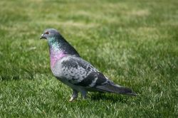 Feral Pigeon at Birtley