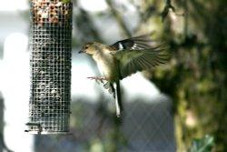 Female Chaffinch at Birtley.