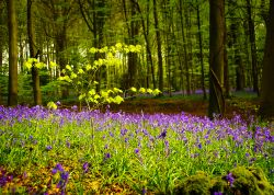 Sapling amongst the Bluebells, Bargate woods, Chepstow.