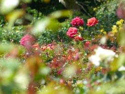 The Rose Garden, Greenwich Park