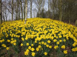 Daffodills near Takeley