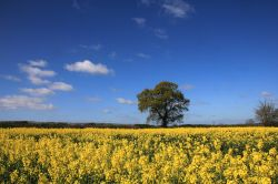 Fields of Gold near Lichfield