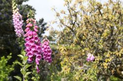 Foxgloves at Greys Court