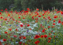 Poppies and Wild Flowers, Chepstow.