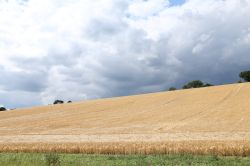 Wheat field with stormy sky on the Hernes Estate near Henley-on-Thames