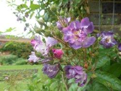 Rose Pergola, Kew Gardens