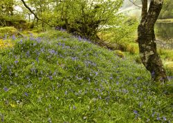 Bluebells Rydal Water