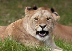 Lioness, Knowsley Safari Park.