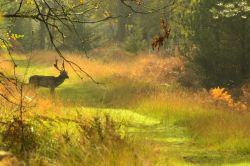Fallow Stag Wallpaper