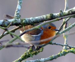 Sampford Moor - Robin