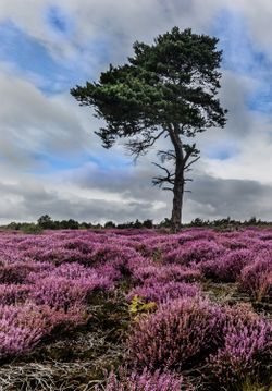 Alone in the Heather, Helmsley