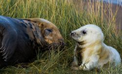 Grey Seals at Donna Nook,near Louth,Lincolnshire