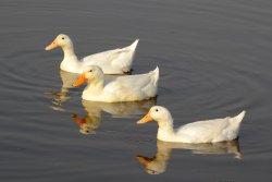 Ducks In Formation