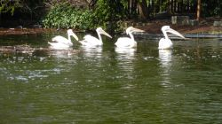 Pelicans all in a row - St James's Park, London, 6th April 2015