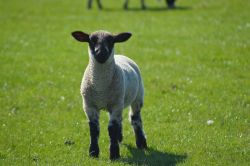 Lamb on Little Scotland Farm