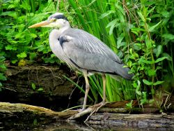 The Heron, Ruislip duck pond