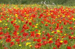 Poppies and corn marigolds