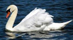A Swan, Ruislip lido