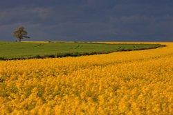 Rape field near Pickering