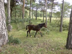 A Young New Forest Pony Near Lyndhurst, Hampshire