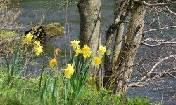 Daffodils along river Wye at Monsal Head trail