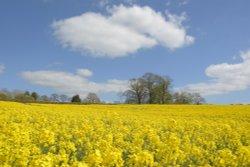 Oilseed Rape at Steeple Claydon, Buckinghamshire