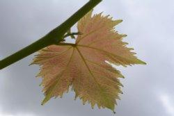 Vine Leaf at Steeple Claydon, Buckinghamshire