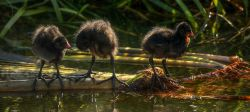 Moorhen Chicks on the Oxford Canal near Adderbury, Oxfordshire