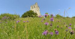 Knapweed and Church, Edlesborough, Buckinghamshire