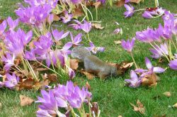Squirrel playing among pink purple autumn crocus at St James's Park London