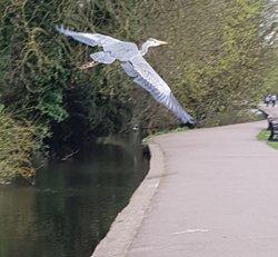 Heron over St Albans lake
