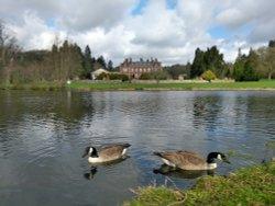 Geese At Lynford