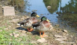 Ducks on Village Pond, Leighterton, Gloucestershire 2014