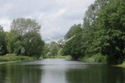 Flying Swan, River Stour, Sudbury