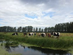 Cattle on marshes at Shipmeadow
