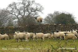 Sheep, nr Luckington, Wiltshire 2008