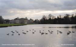 Canada Geese on Badminton Lake, Badminton, Gloucestershire 2014