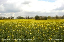 Oilseed Rape Field, Acton Turville, Gloucestershire 2012