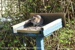 Brown Rat on Bird Table, Acton Turville, Gloucestershire 2015