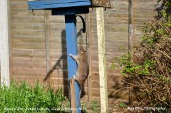 Brown Rat climbing up Bird Table, Acton Turville, Gloucestershire 2015