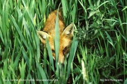 Fox in Cornfield, Acton Turville, Gloucestershire 1988