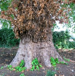Wonderfully Determined Ivy in Hyde Park, London, UK